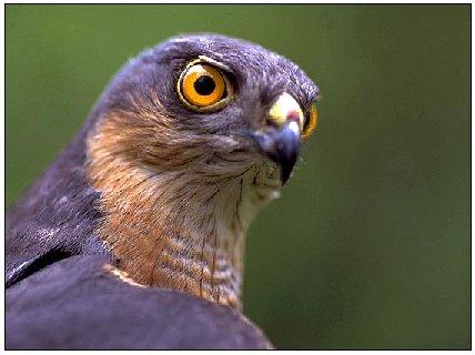 Ein Sperber, Greifvogel